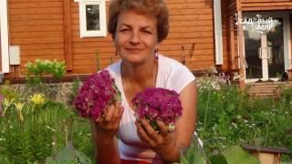 видео Фиолетовая капуста и овощ-ягода