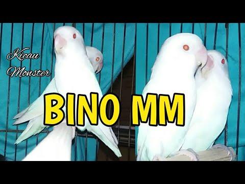 Lovebird Albino Mata Merah | Firman Bird Farm