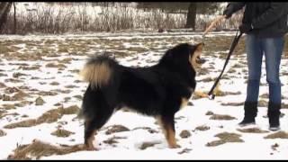 Tibeto Mastifai (laida Mūsų Gyvūnai)