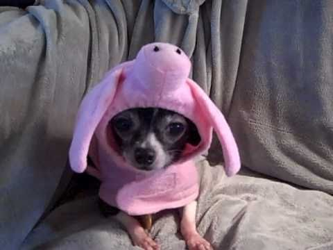 Cutest small dog Halloween costume on Pebbles - YouTube