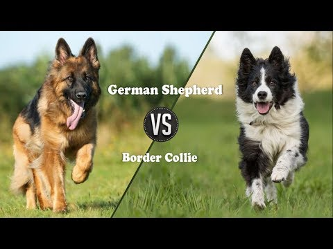 German shepherd Vs Border Collie dog (Breed Info. and comparison)