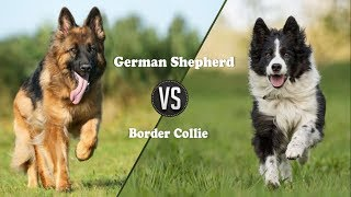 German shepherd Vs Border Collie dog (Breed Info. and comparison)