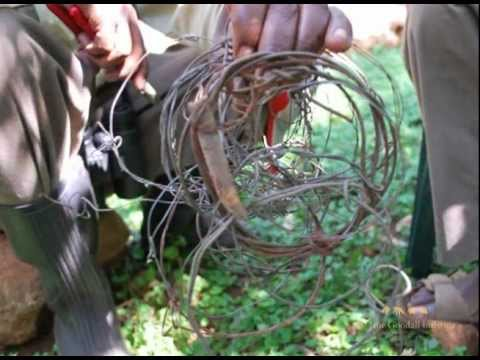 Saving Chimps From Snares (Graphic Images)