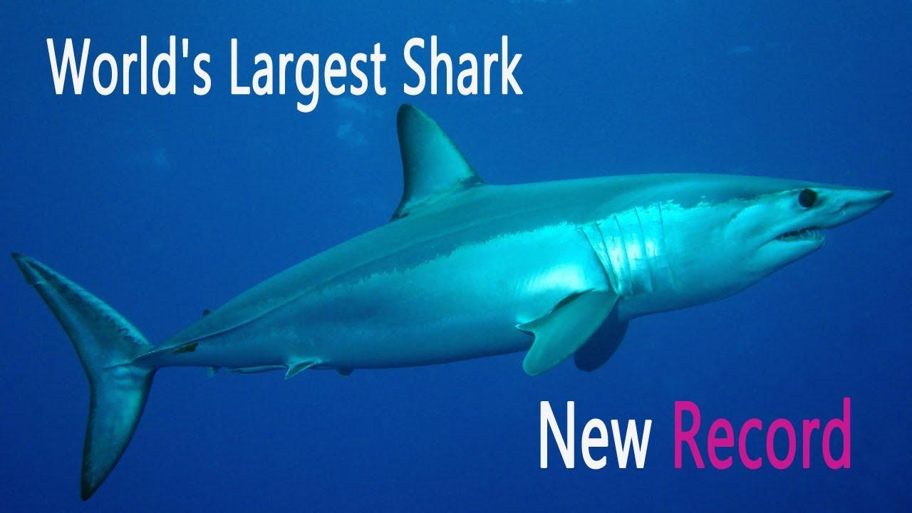 world s biggest shark ever caught year 2013 11 feet weight