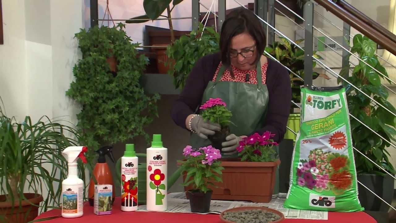 Cifo ascolta le tue piante la pervinca youtube for Pervinca pianta
