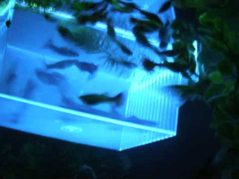Neon Tetras And Guppies Guppies Neon Tetras Ghost