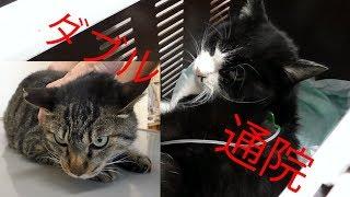 【地域猫・保護猫】ダブル通院‼大人しい団子隊員と対照的にナナ姫がシャーと叫ぶ‼~隠し砦の三キジトラ~【魚くれくれ野良猫製作委員会】