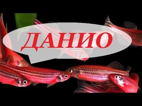Аквариумная рыбка Данио рерио. Размножение данио, содержание, уход.