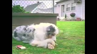 Download Video Video lucu.. Anjing merokok MP3 3GP MP4