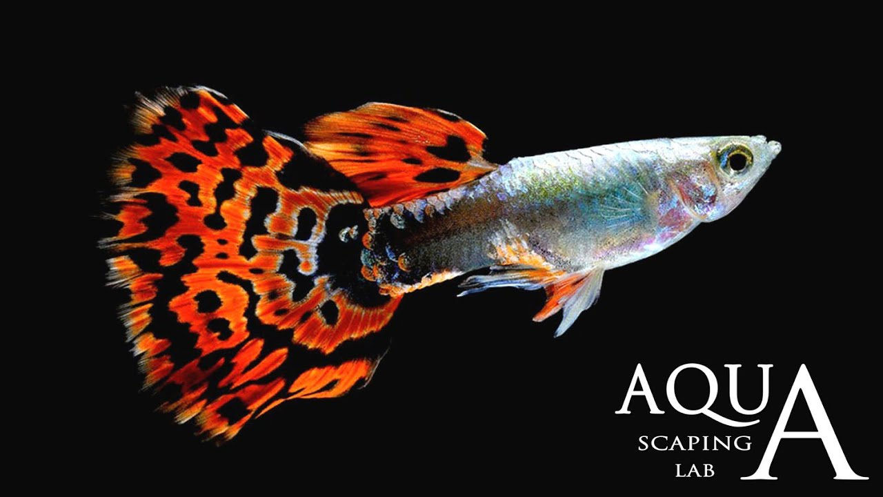 Aquascaping Lab - Guppy Fish Poecilia Reticulata description ...