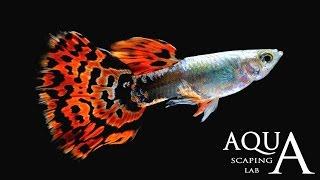 Aquascaping Lab - Guppy Fish Poecilia Reticulata description / Guppies Lebistes Reticulata