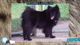 Swedish Lapphund  Everything Dog Breeds