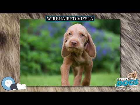 Wirehaired Vizsla  Everything Dog Breeds