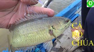 Giăng lưới toàn cá rô to dính gì mới đã l Fishing
