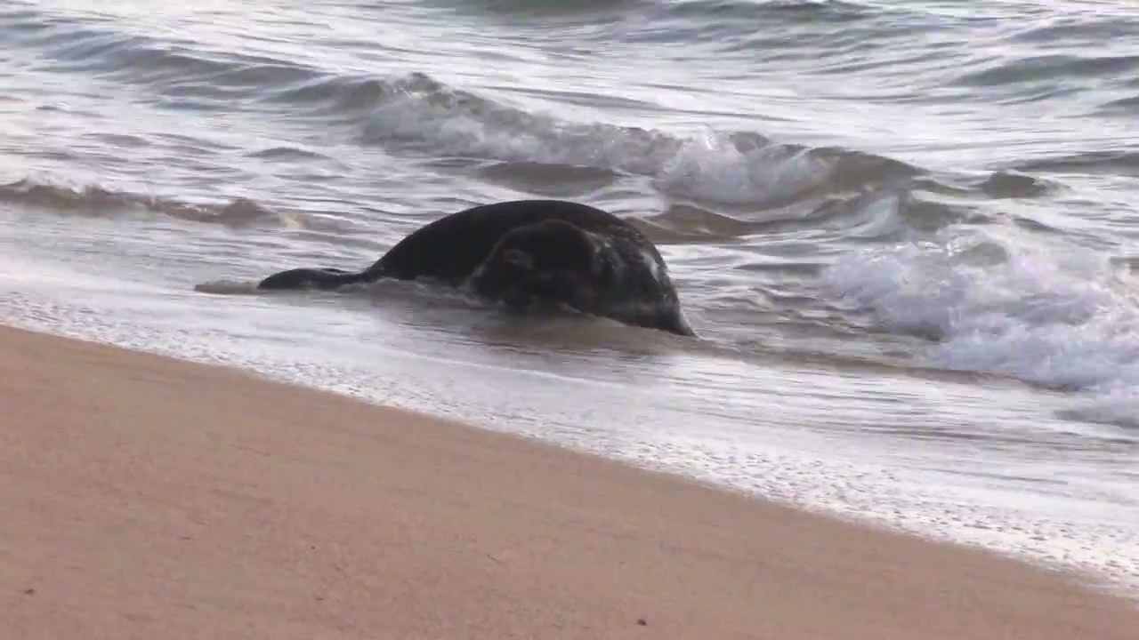 Newborn Hawaiian monk seal to be moved out of Waikiki