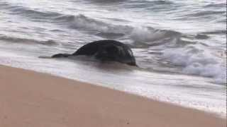 Week 3 Hawaiian Monk Seal and Nursing Pup Rare Footage
