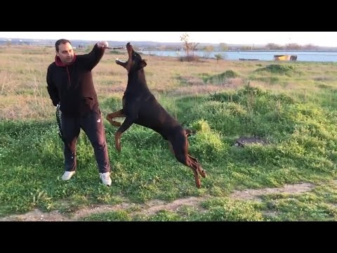 Doberman jumps up to 2.5 meters SLOW MOTION
