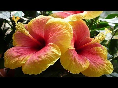 Виды и сорта Китайской розы. Разновидности Гибискуса. Съедобный Гибискус.