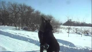 Русский чёрный терьер  «Черныш»
