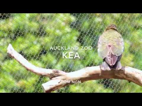 Training Kea (New Zealand Kea)   Auckland Zoo [Full HD]