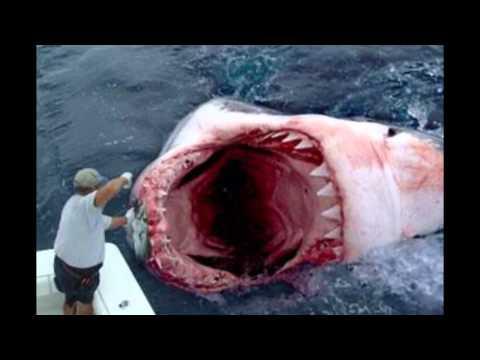 МЕГАЛАДОН СУЩЕСТВУЕТ!!! Самая большая в мире акула.