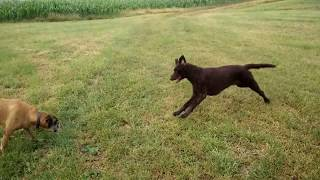Curly Coated Retriever wants to run with Boxer