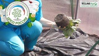Выращиваем ремонтантную землянику в теплице осенью.(В нашей теплице после огурцов мы будем выращивать ремонтантную землянику в летне-осенний период. Как прави..., 2016-08-12T08:25:42.000Z)
