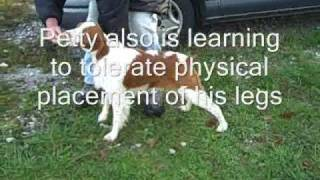 Dog Training, Young Brittany Spaniel Learning To Bait And Free Stack