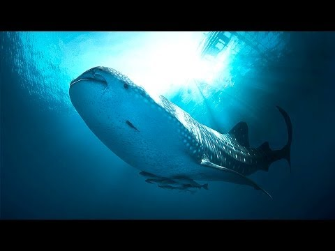 Diving With Whaleshark Nabire Papua Indonesia [HD] - The Blue Of Cendrawasih Part 2