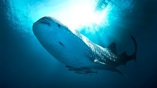 Download Video Diving with Whaleshark Nabire Papua Indonesia [HD] - The Blue of Cendrawasih Part 2 MP3 3GP MP4