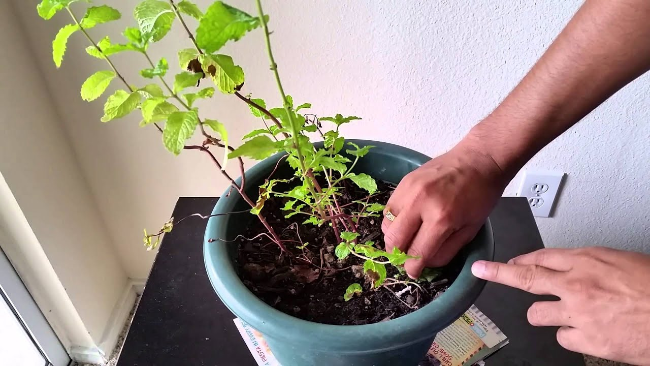 how to grow mint in pot at home patio plant mint youtube. Black Bedroom Furniture Sets. Home Design Ideas