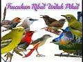 Suara Trucukan Ribut Dan Burcil Untuk Pikat Gantangan(.mp3 .mp4) Mp3 - Mp4 Download