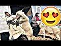 أجمل المواقف المضحكة والطريفة مع خروف العيد !!! هروب ماكر خروف العيد !! اضحك مع الكبش   2017