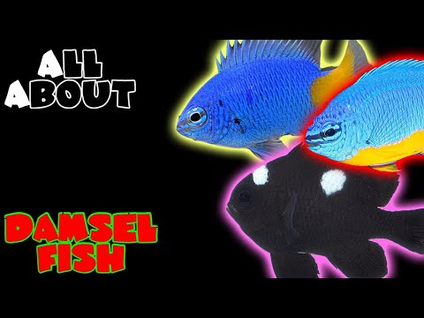 All About The Damselfish | Blue Kupang Or Azure Damsel Yellow Tail Domino Or Three Spot Damsel
