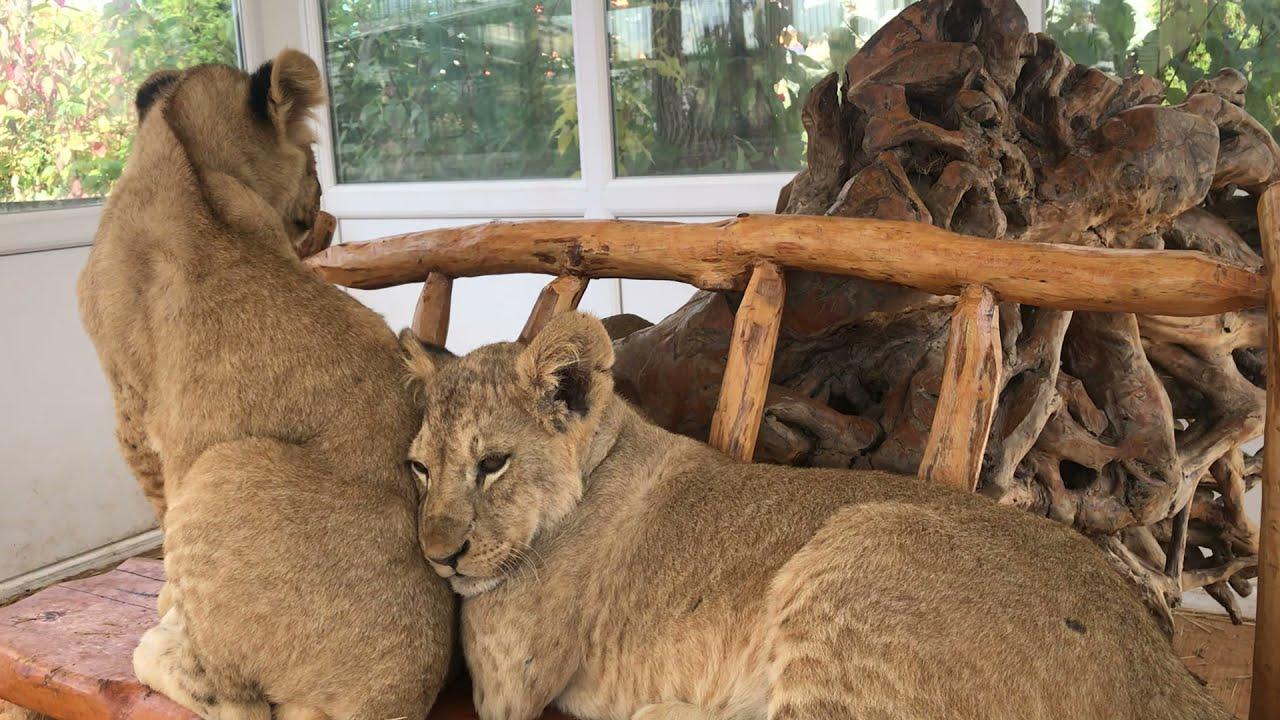 Download У тайгановских львов дружба начинается с детства! Friendship of Taigan lions begins from childhood!