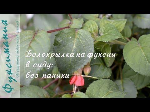 Белокрылка на фуксии в саду: без паники