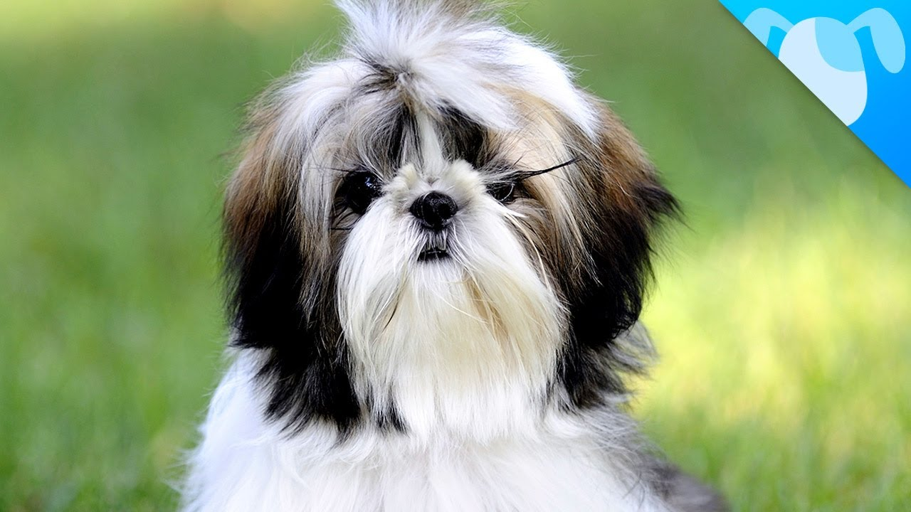 facts about shih tzu shih tzu facts doovi 2347