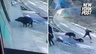 Ferocious wild boar attack kills an elderly man   New York Post