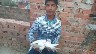 How to identify male or female pigeon || specialy for new comers || by chote ustad