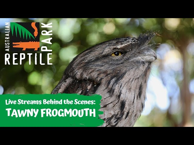 LIVE WITH TAWNY FROGMOUTHS   AUSTRALIAN REPTILE PARK