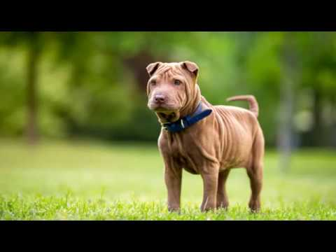 Miniature Shar Pei - Small Dog Breed