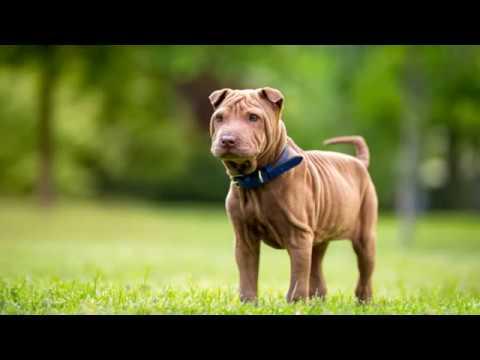 Miniature Shar Pei - small dog breed