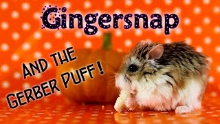 GINGERSNAP and the Gerber Puff! Thumbnail
