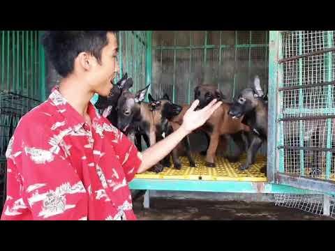 Trại chó becgie Bỉ tại Hà Nội