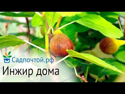 Инжир или смоковница или фига выращивание в комнате, Fícus cárica