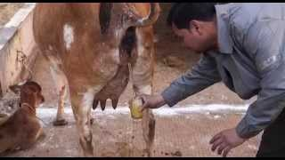 Gau Mata Sanrakshan Video