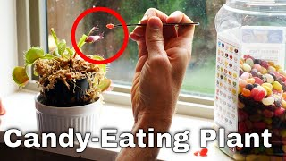 What If You Feed a Venus Flytrap Candy Instead of Flies?