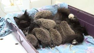 видео: Кошка приютила 8 осиротевших ёжиков