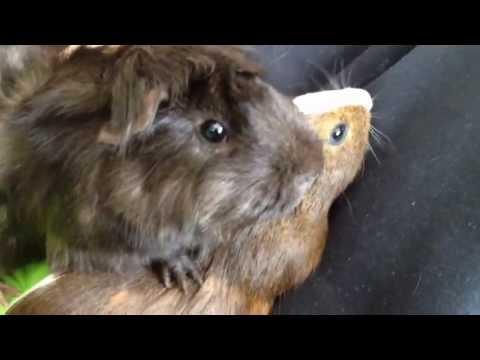 happy guinea pig noises