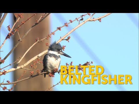 Belted Kingfisher American Bird Conservancy